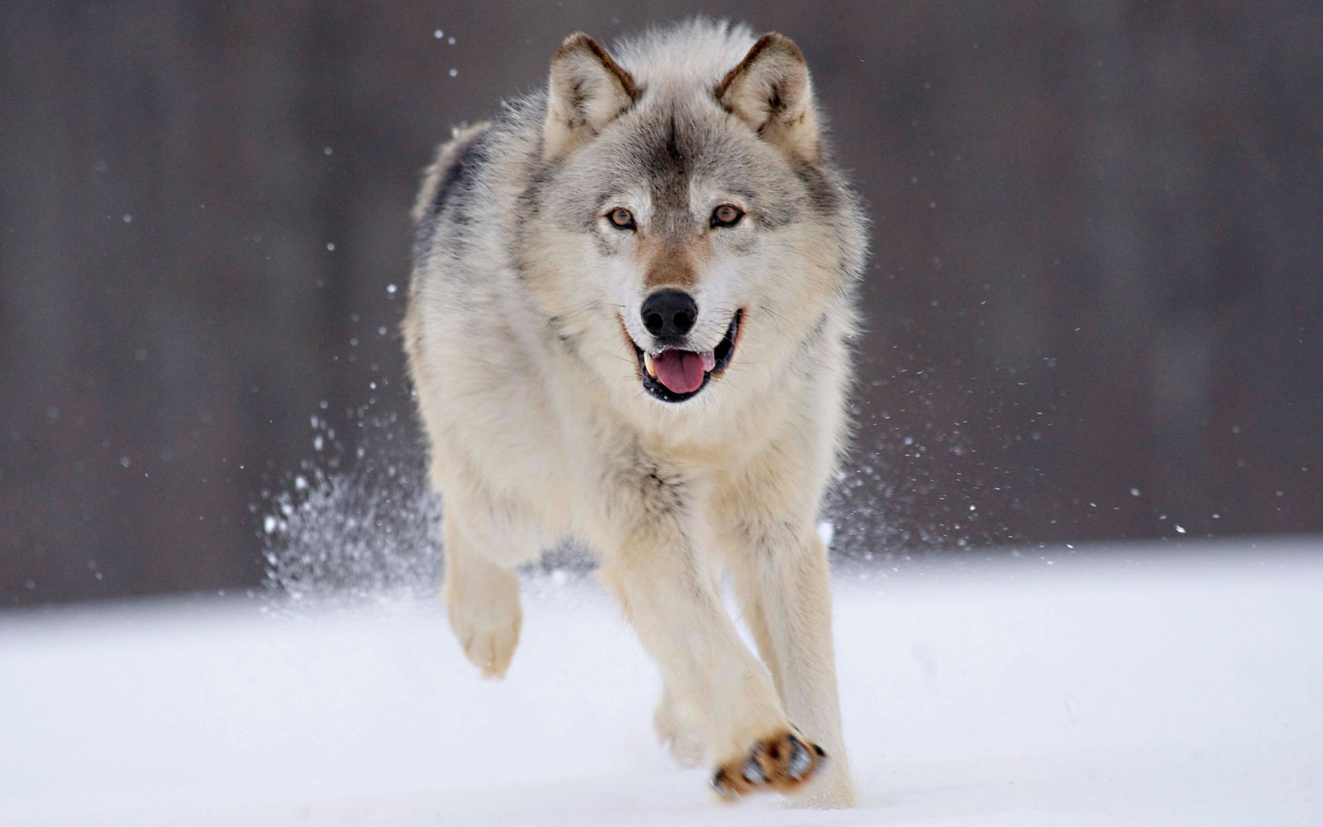 Gray Wolf desktop wallpaper 1920x1200