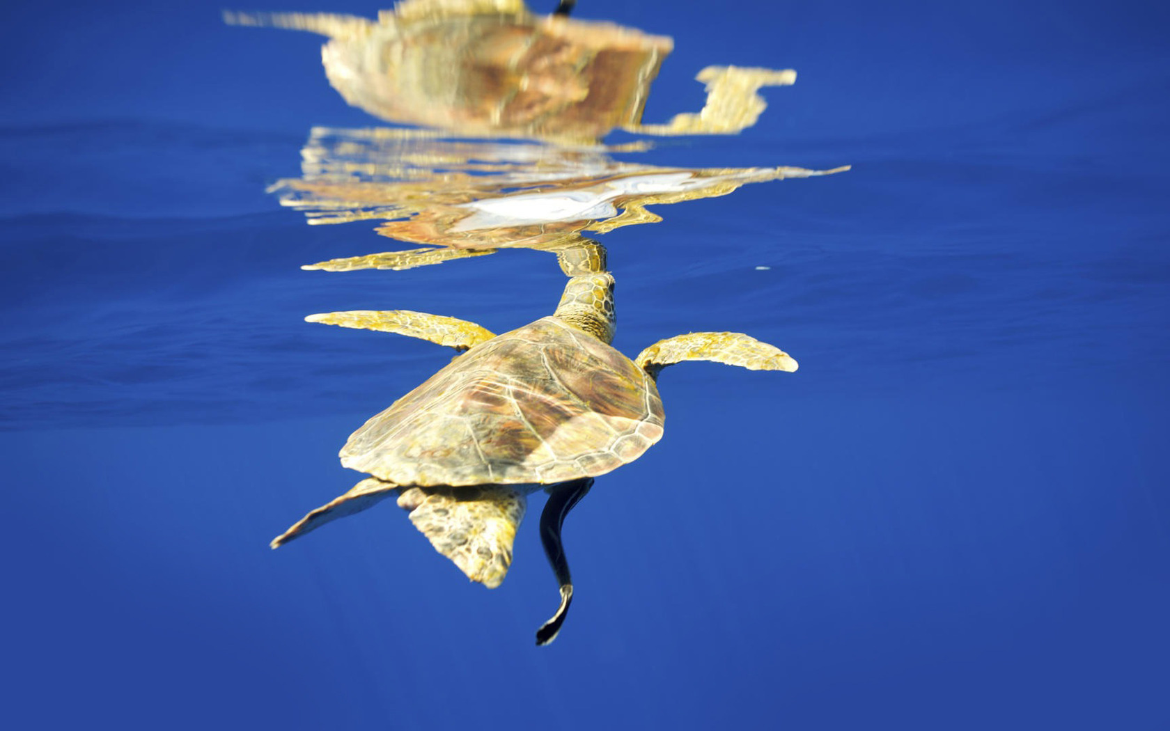 Related Pictures summer sea turtle animal vector stock art 1680x1050