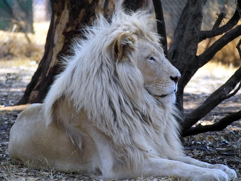 White Lion Wallpaper Desktop 10839 Hd Wallpapers in Animals   Imagesci 1024x768