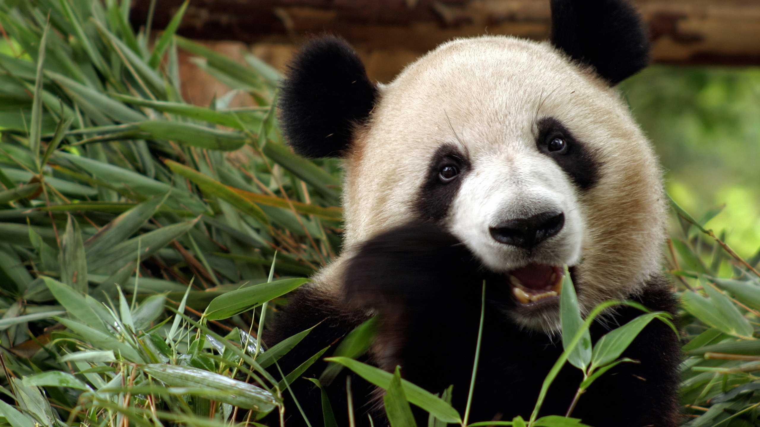 Panda Wallpaper Top 20 Best Wallpapers Of Cute Panda Bear 2560x1440