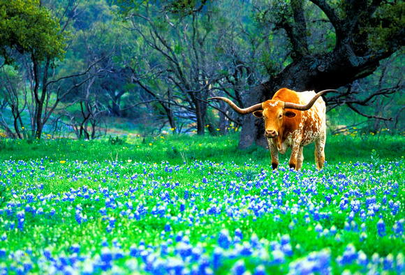 Download longhorn in bluebonnets this longhorn was found on the willow 580x394