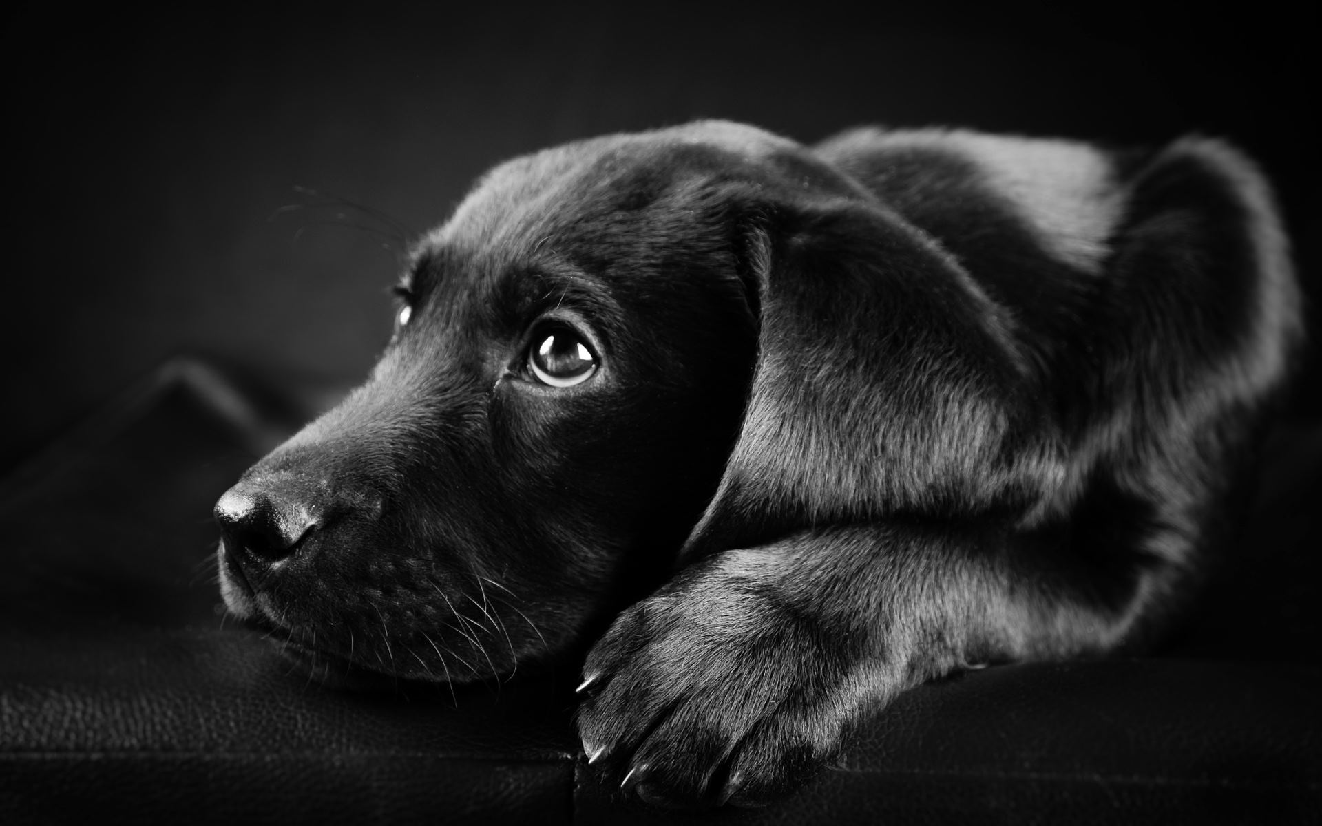 Wallpaper Hd Black Labrador Puppy   Litle Pups 1920x1200