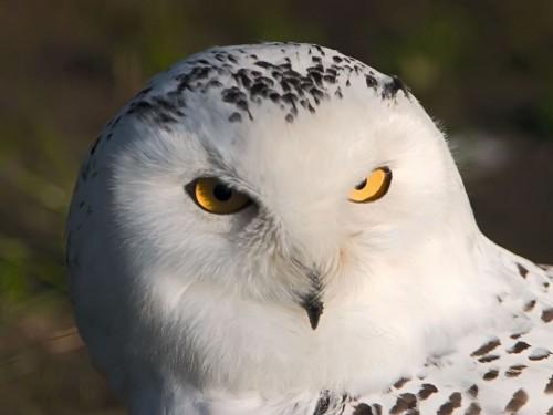 White Owl Screensaver Screensavers   Download White Owl Screensaver 500x375