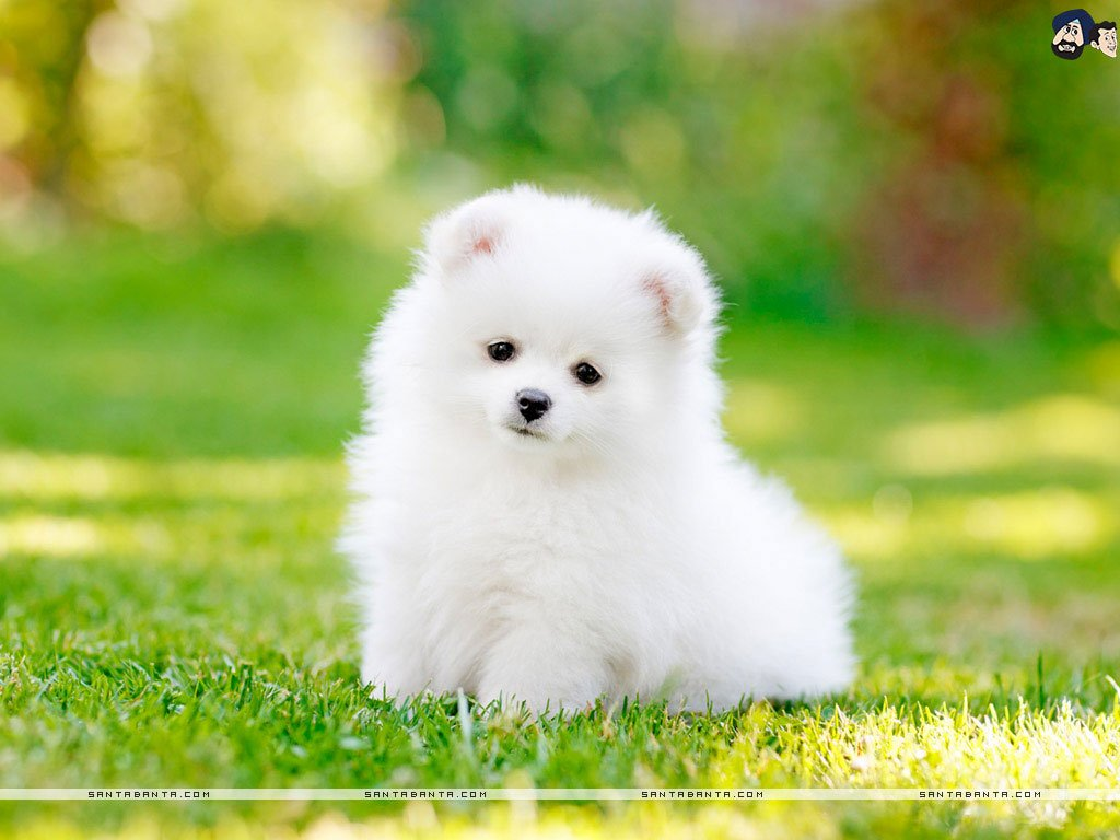 The most adorable wallpaper of a Pomeranian teacup dog 1024x768