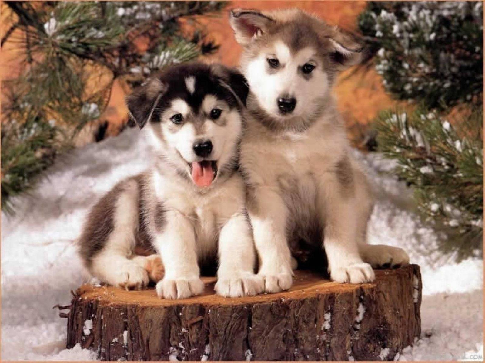 Husky cute puppies   Husky Wallpaper 1600x1200