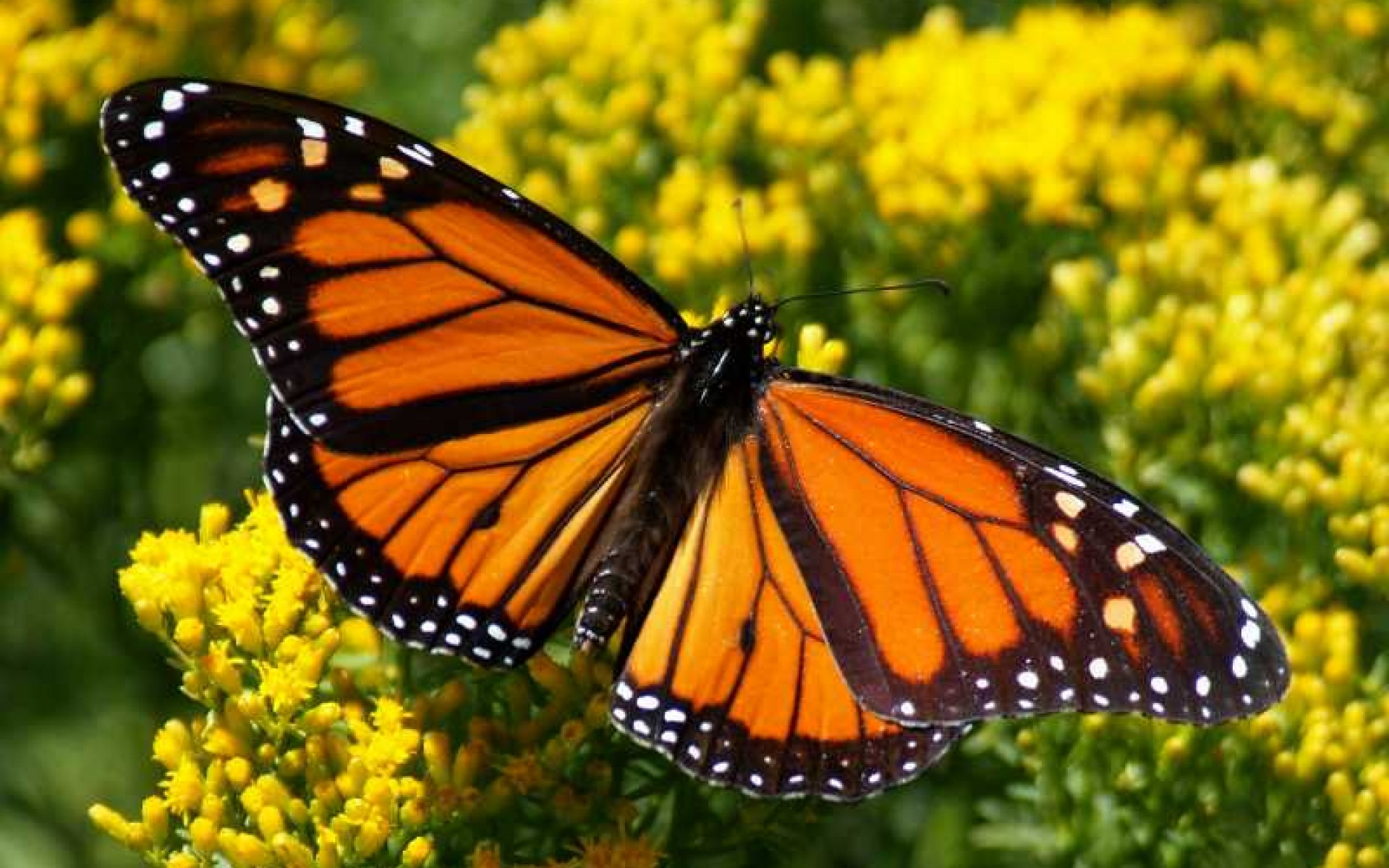 Pics Photos   Monarch Butterfly Wallpaper 1920x1200