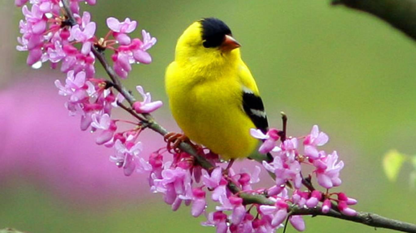 spring yellow bird   Beautiful Birds Picture 1366x768