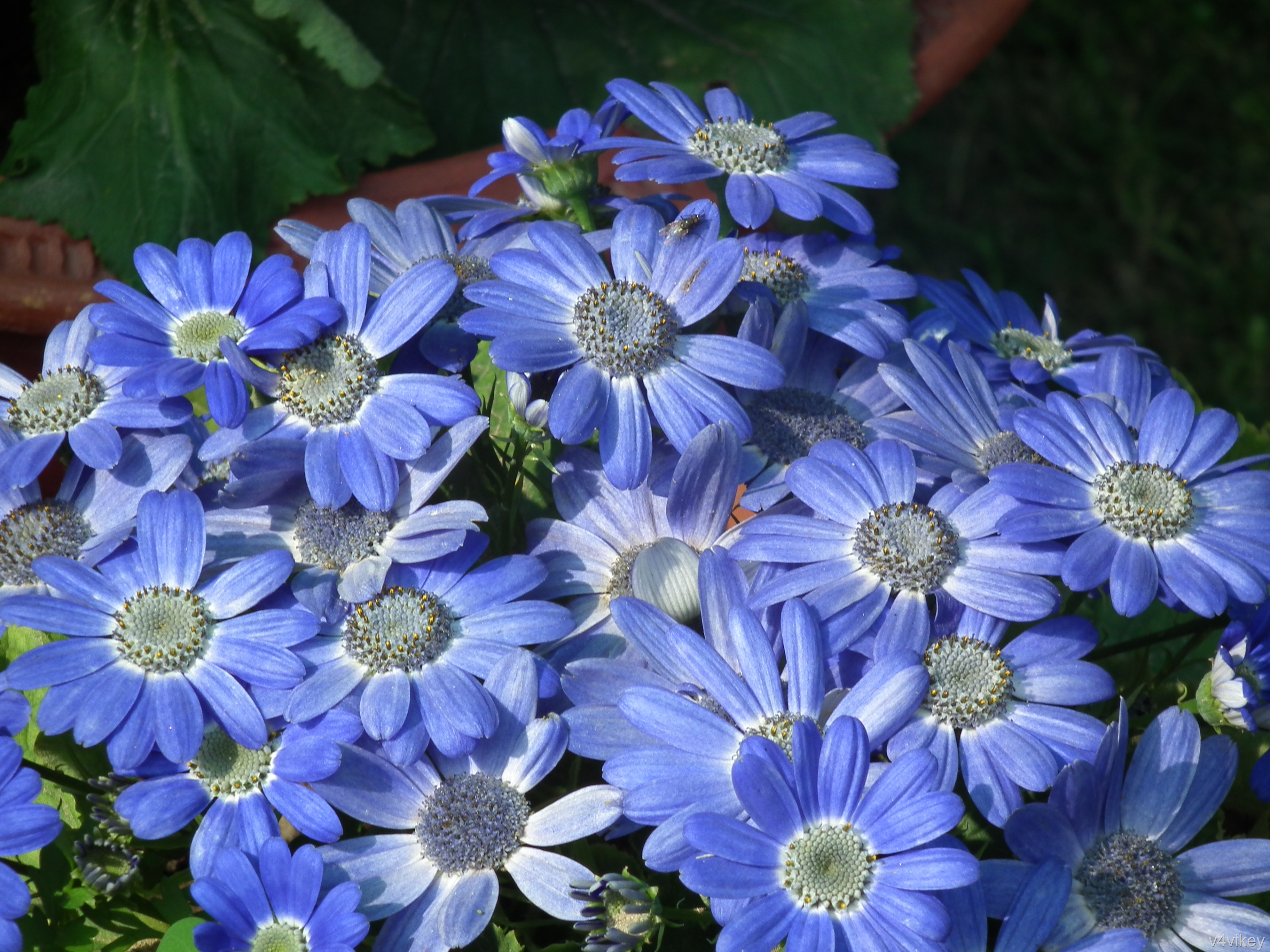Beautiful Nature Blue Color Cineraria Flower Wallpaper Tadka 3648x2736