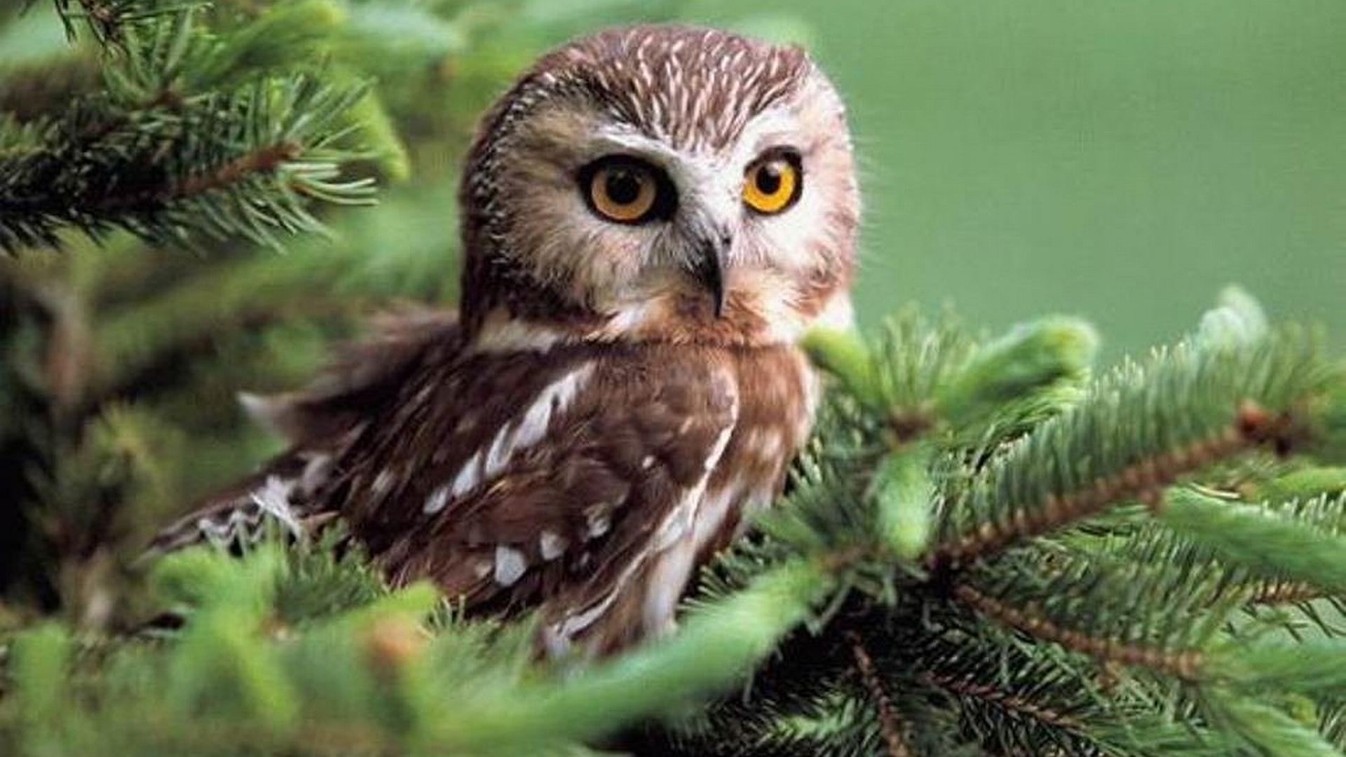 Owl Desktop Wallpaper Hd