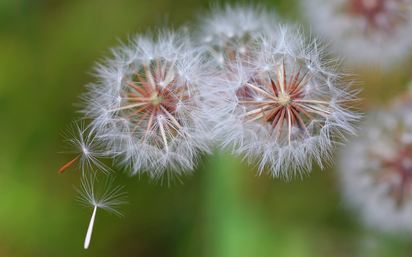 Dandelion Seeds Blowing in Wind   Wild Flower Background   1680x1050 1680x1050