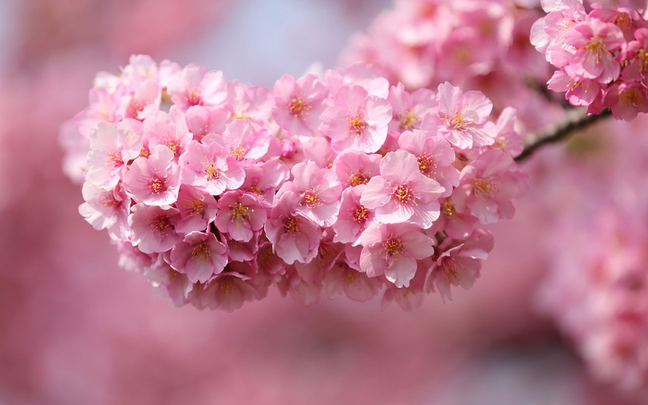 Charming feminine pink Flowers HD Wallpaper 7 Flower Wallpapers 1280x800