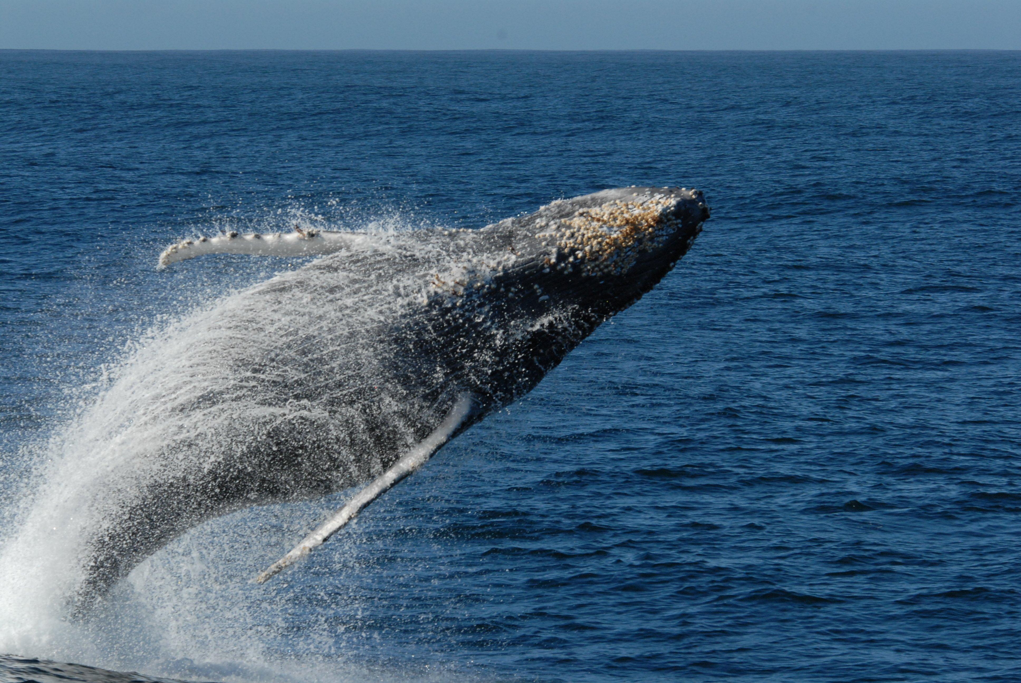 URL httpwwwsmscscomphotohumpback whale wallpaper19html 3872x2592