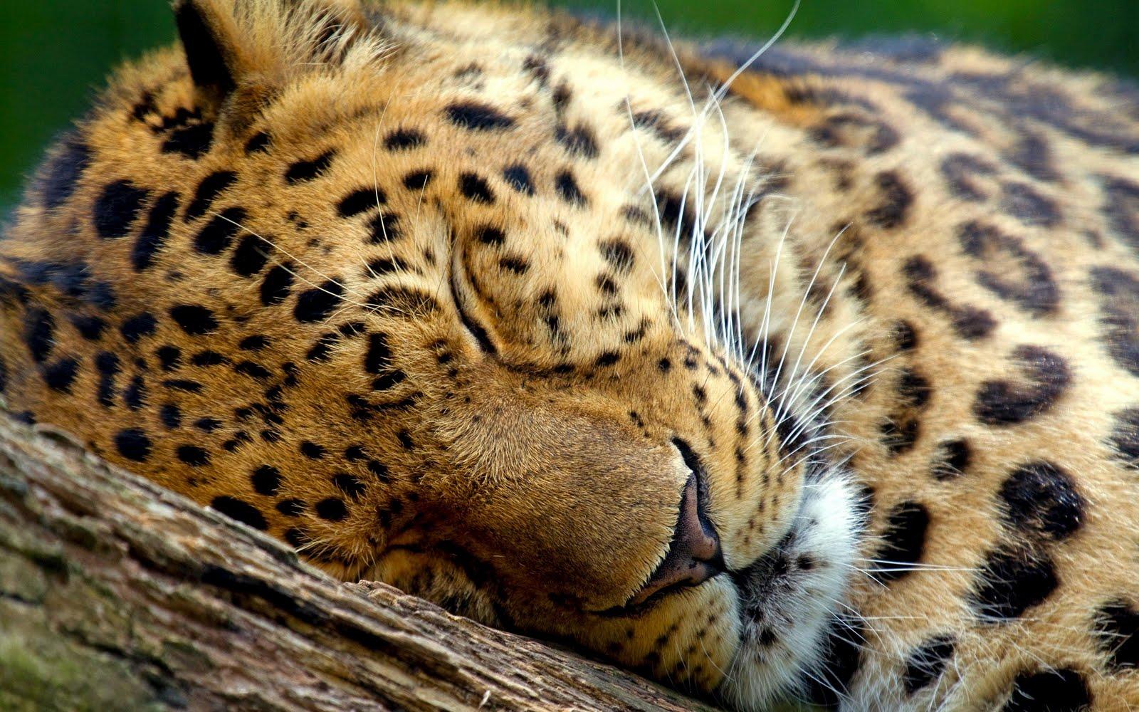 Sleeping Leopard HD Wallpapers Hd Wallpaper 1600x1000