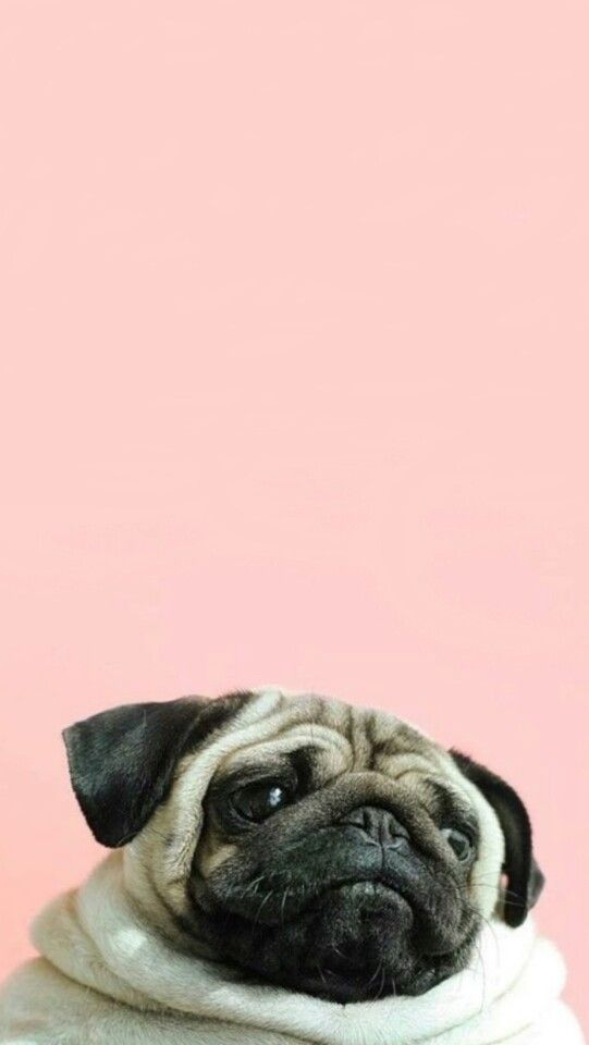 Pug wallpaper I just love it p u g Pug wallpaper Pugs Dog 541x960