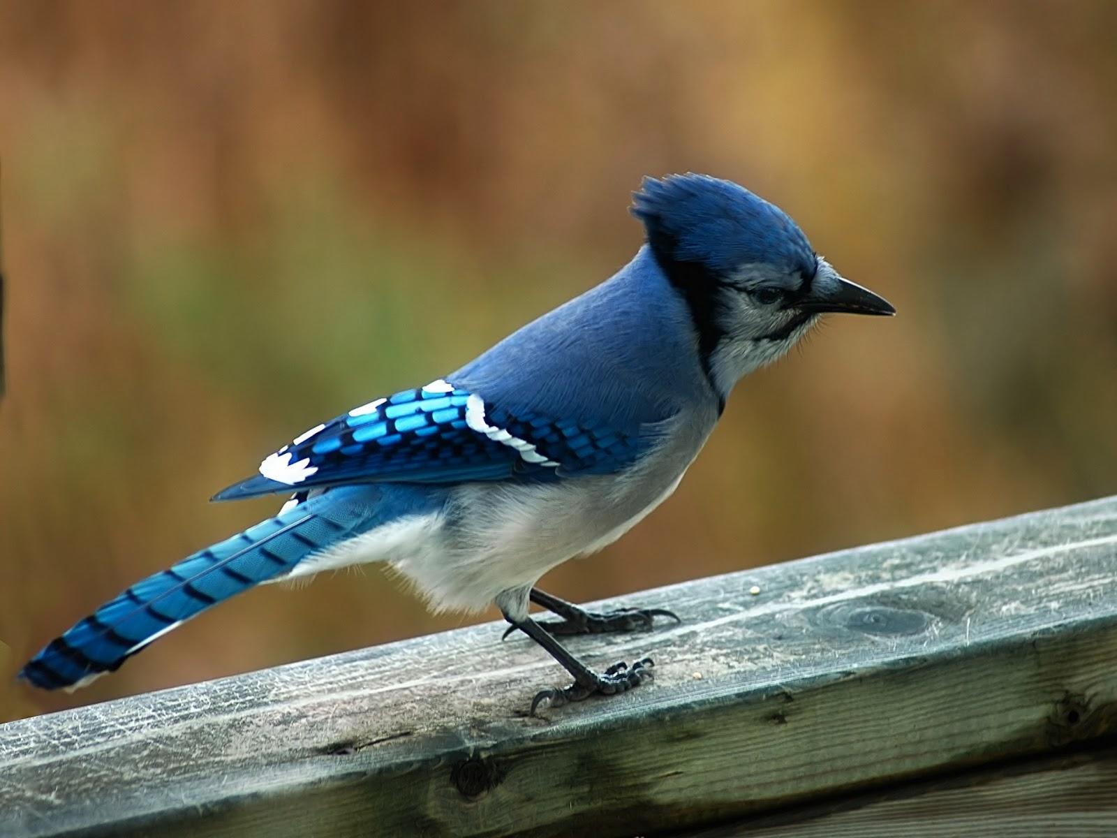 blue birds twins colorful birds colorful bird wallpaper small bird 1600x1200