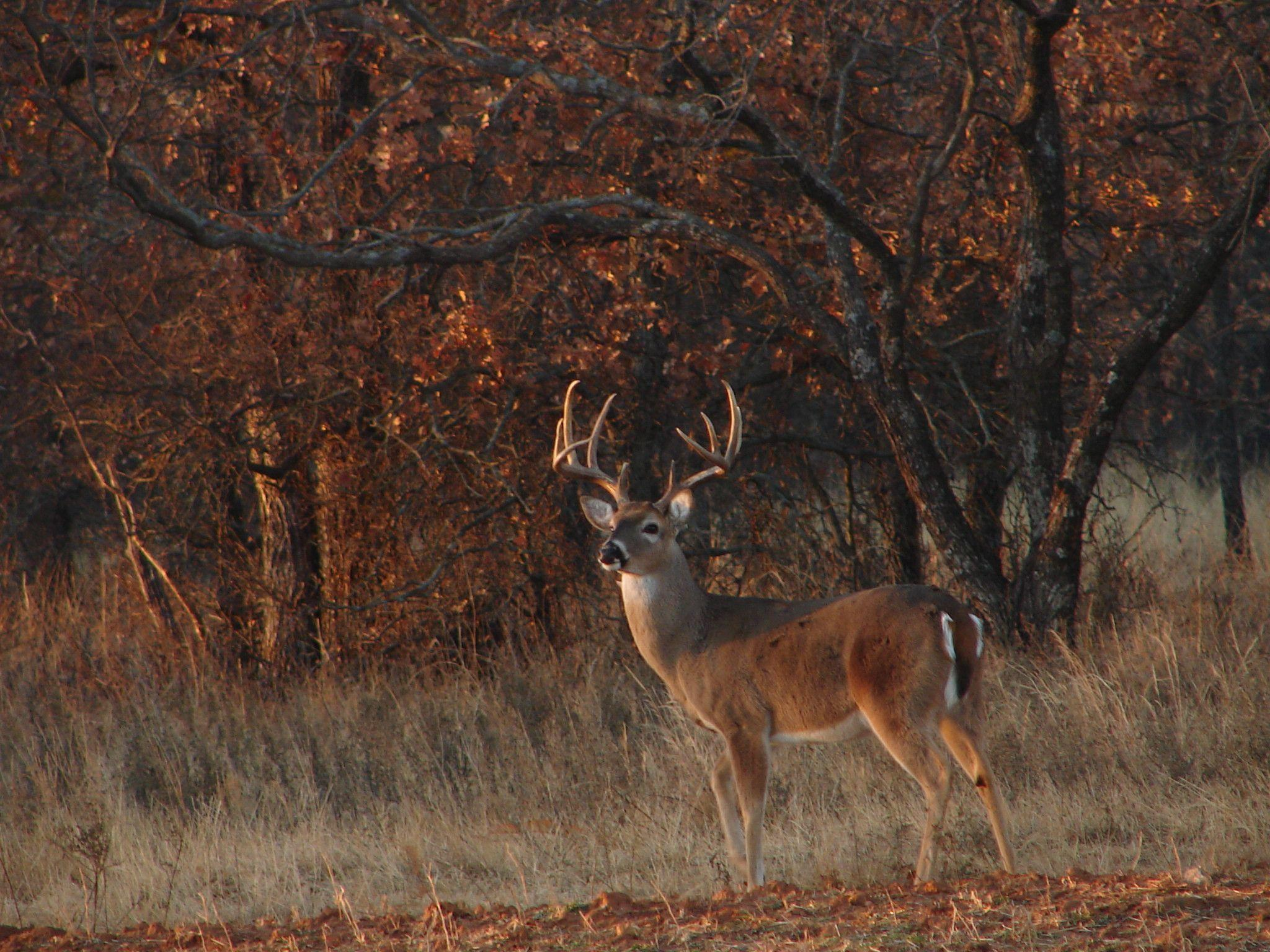 Whitetail Deer Backgrounds 2048x1536