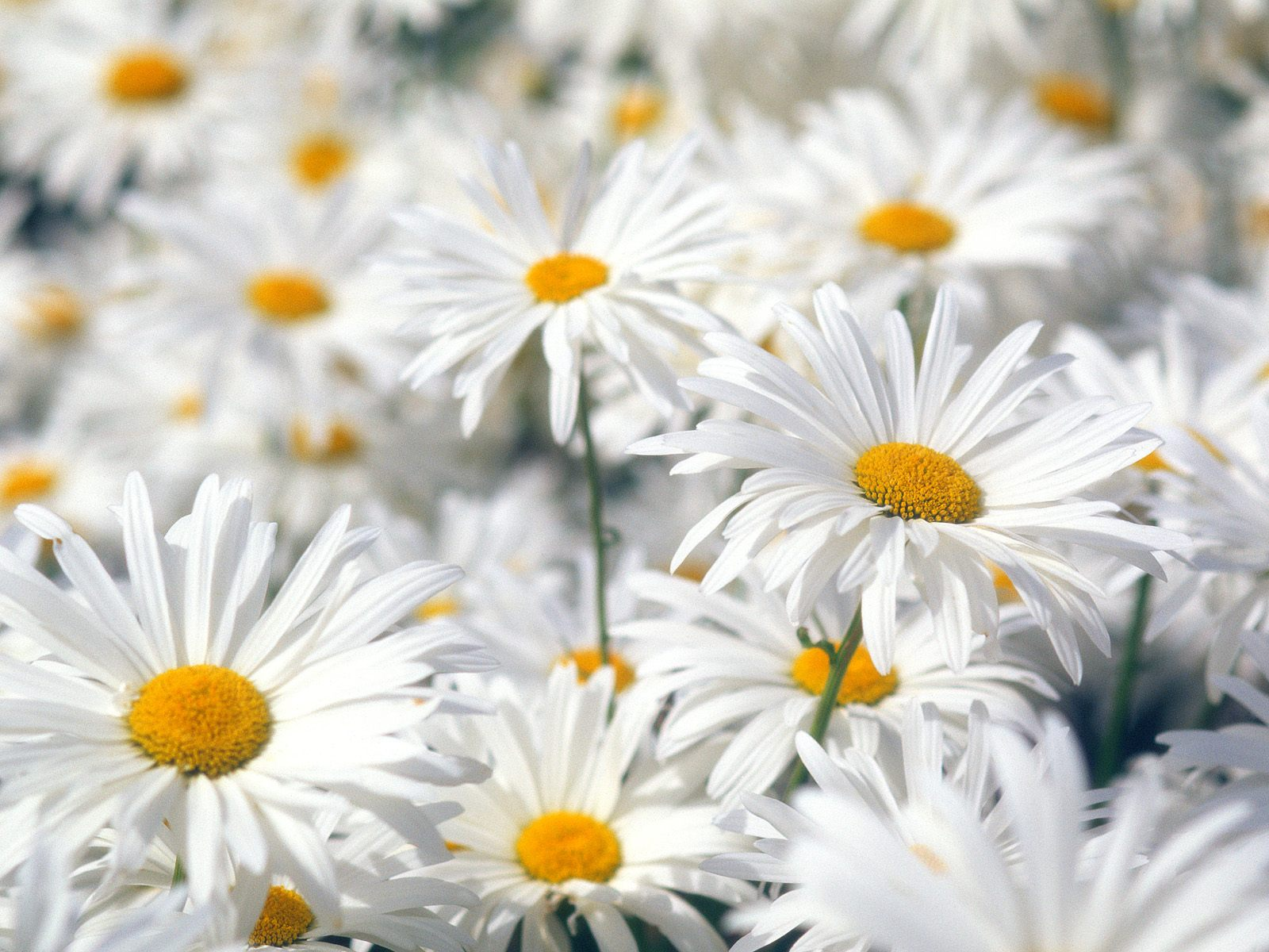 Plentiful Oxeye Daisies Wallpapers HD Wallpapers 1600x1200