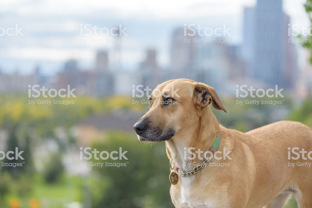 Soulful Rescue Dog Wearing Collar And Tags With Urban Cityscape In 1024x683