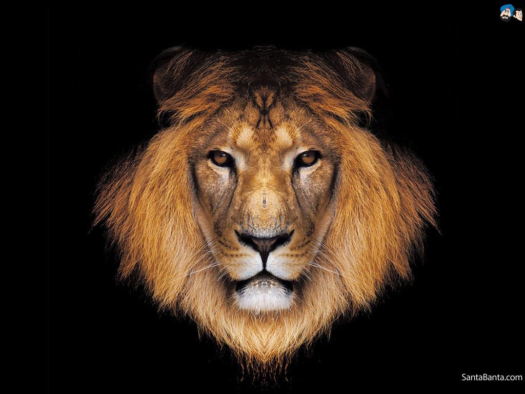 hd lion wallpapers - wallpapersafari