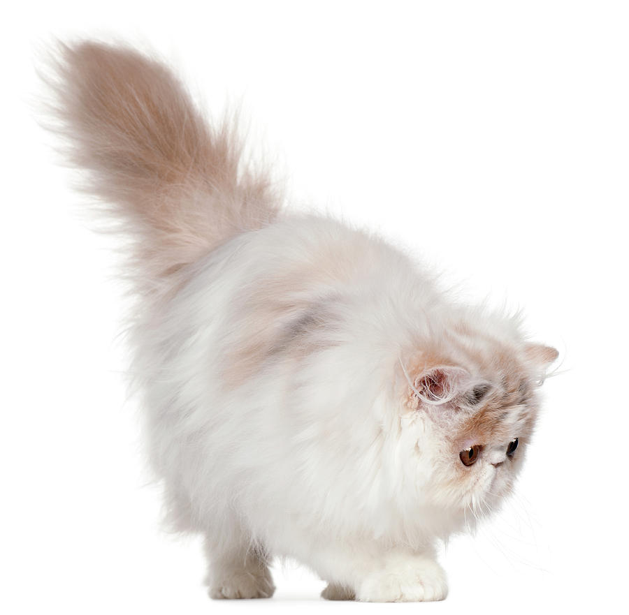 White Furry Cat Transparent Background