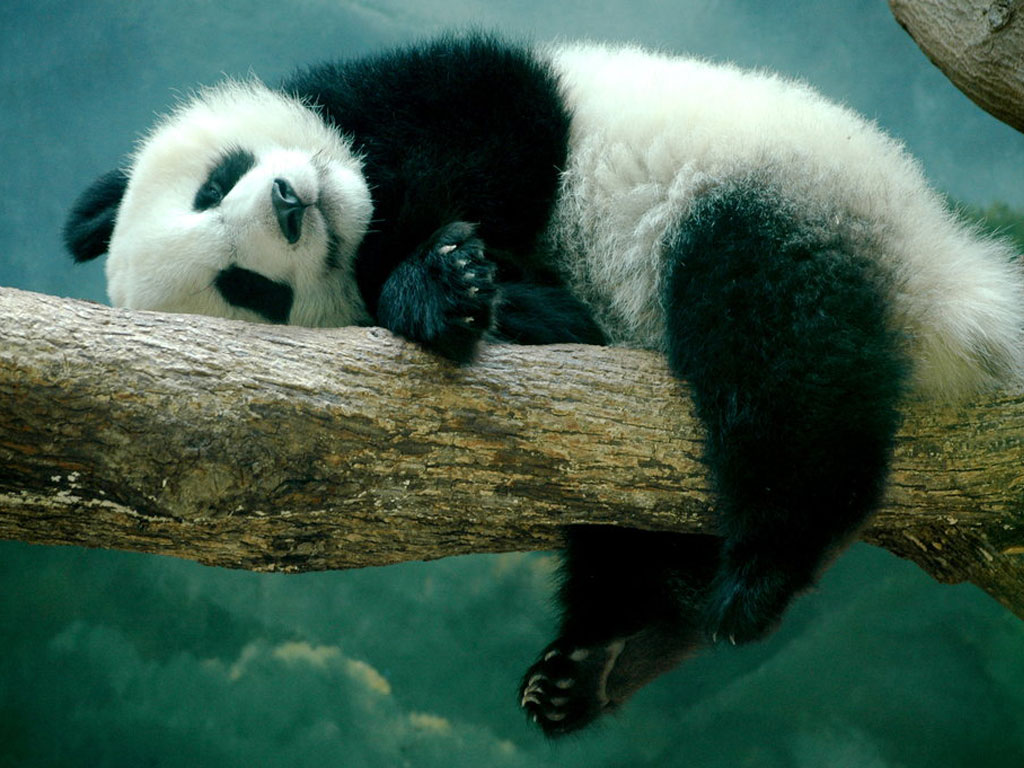 Free Wallpaper 2013 Panda Hd Wallpaper 2013 Panda
