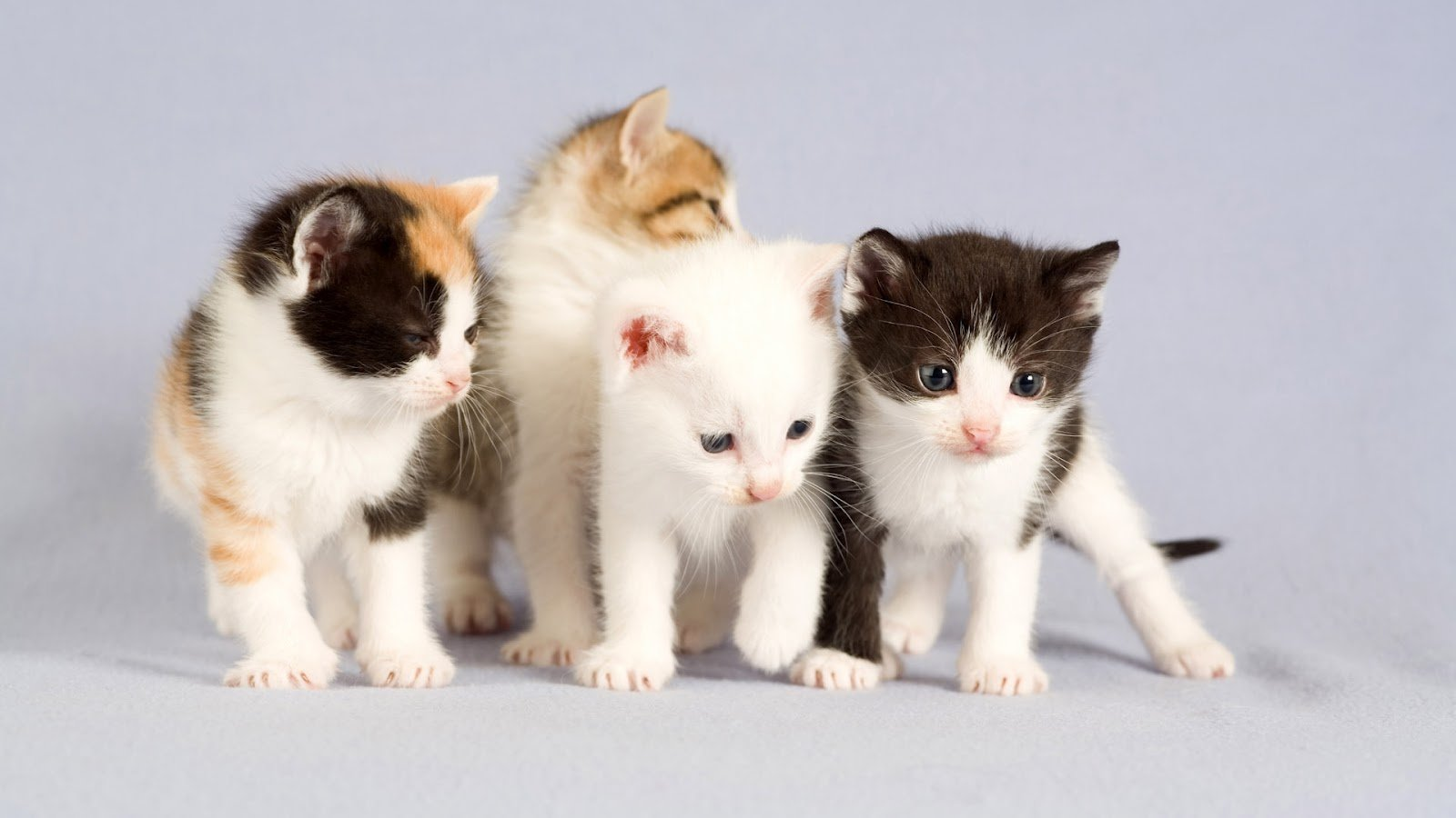 All Wallpapers Beautiful Cats Hd Wallpapers 1600x900