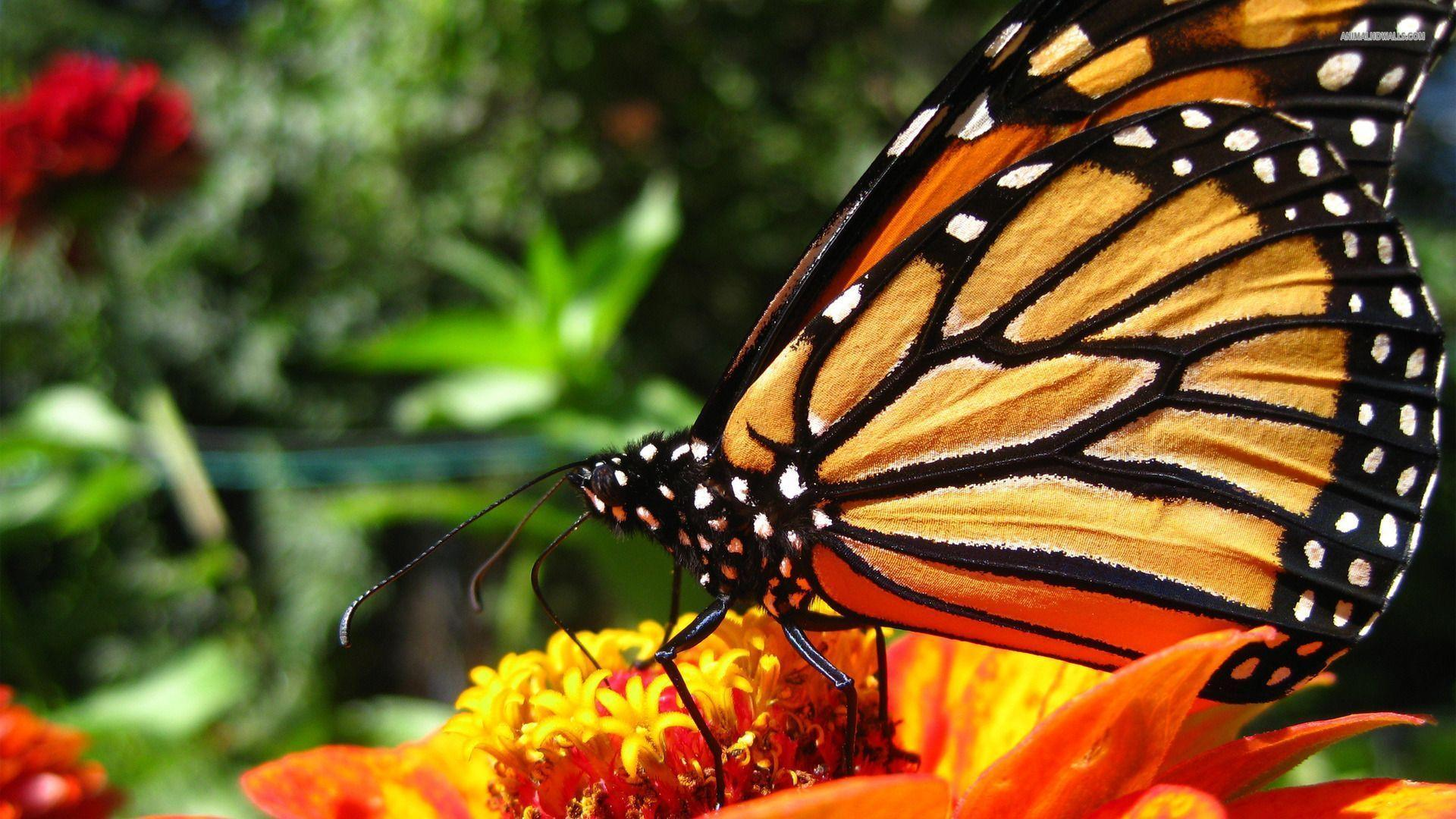 Monarch Butterfly Wallpapers 1920x1080