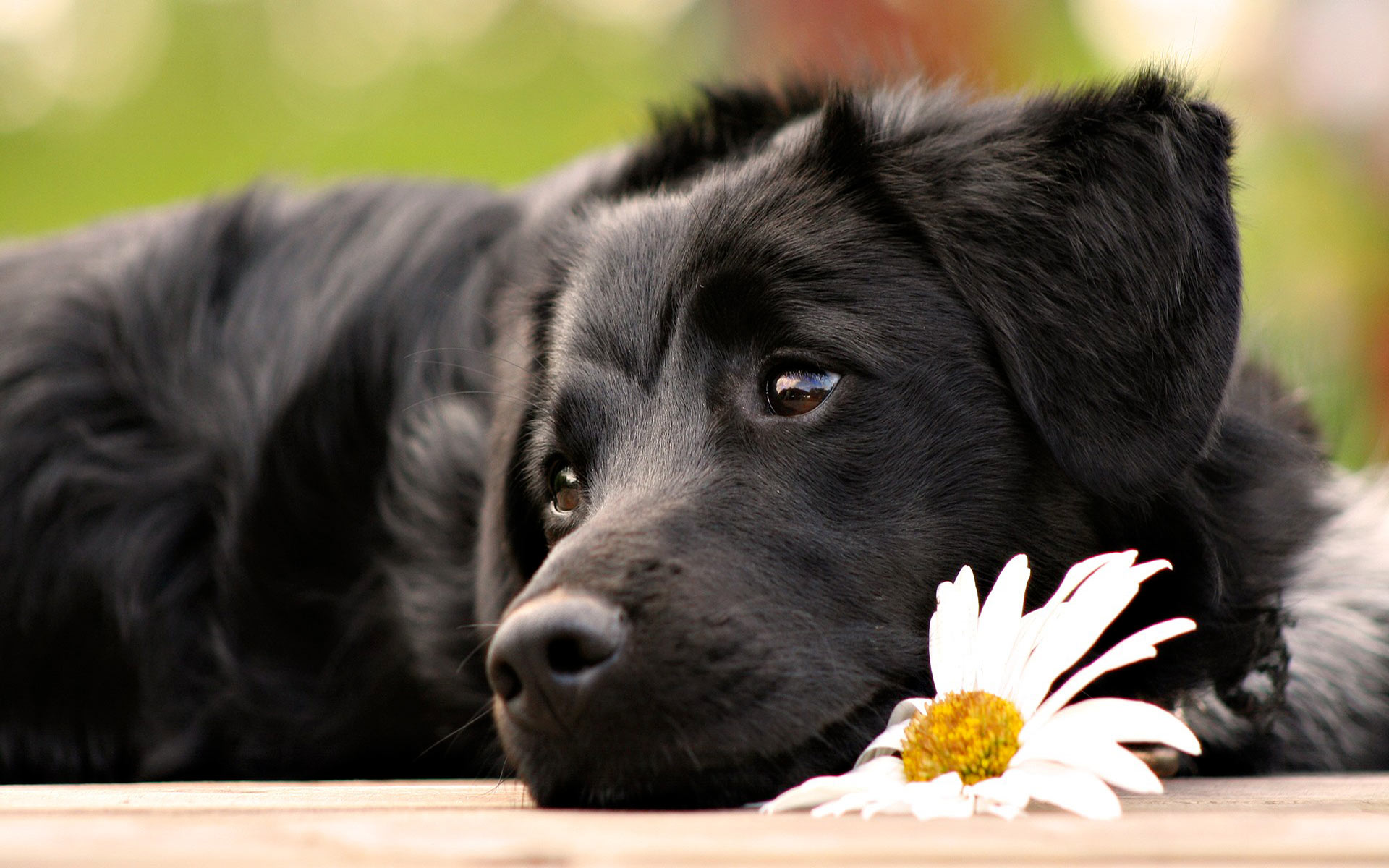 Cute Black Dog With Flower computer desktop wallpapers pictures 1920x1200