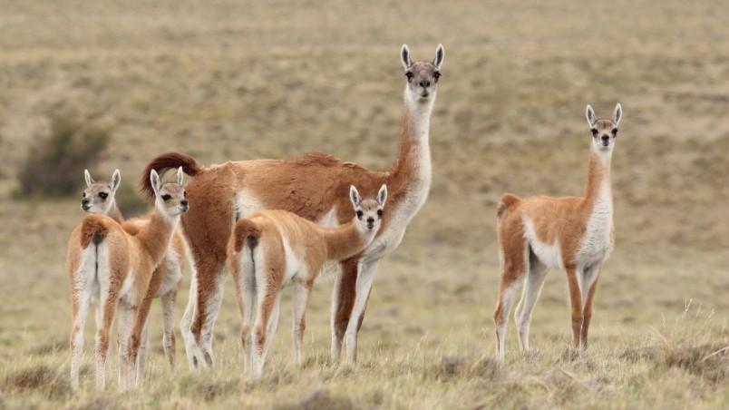 Llama Family HD Wallpaper   WallpaperFX 804x452
