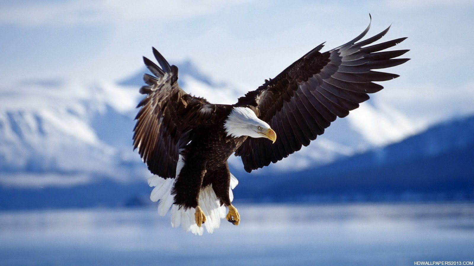 Eagle Wallpaper HD High Definition Wallpapers High 1600x900