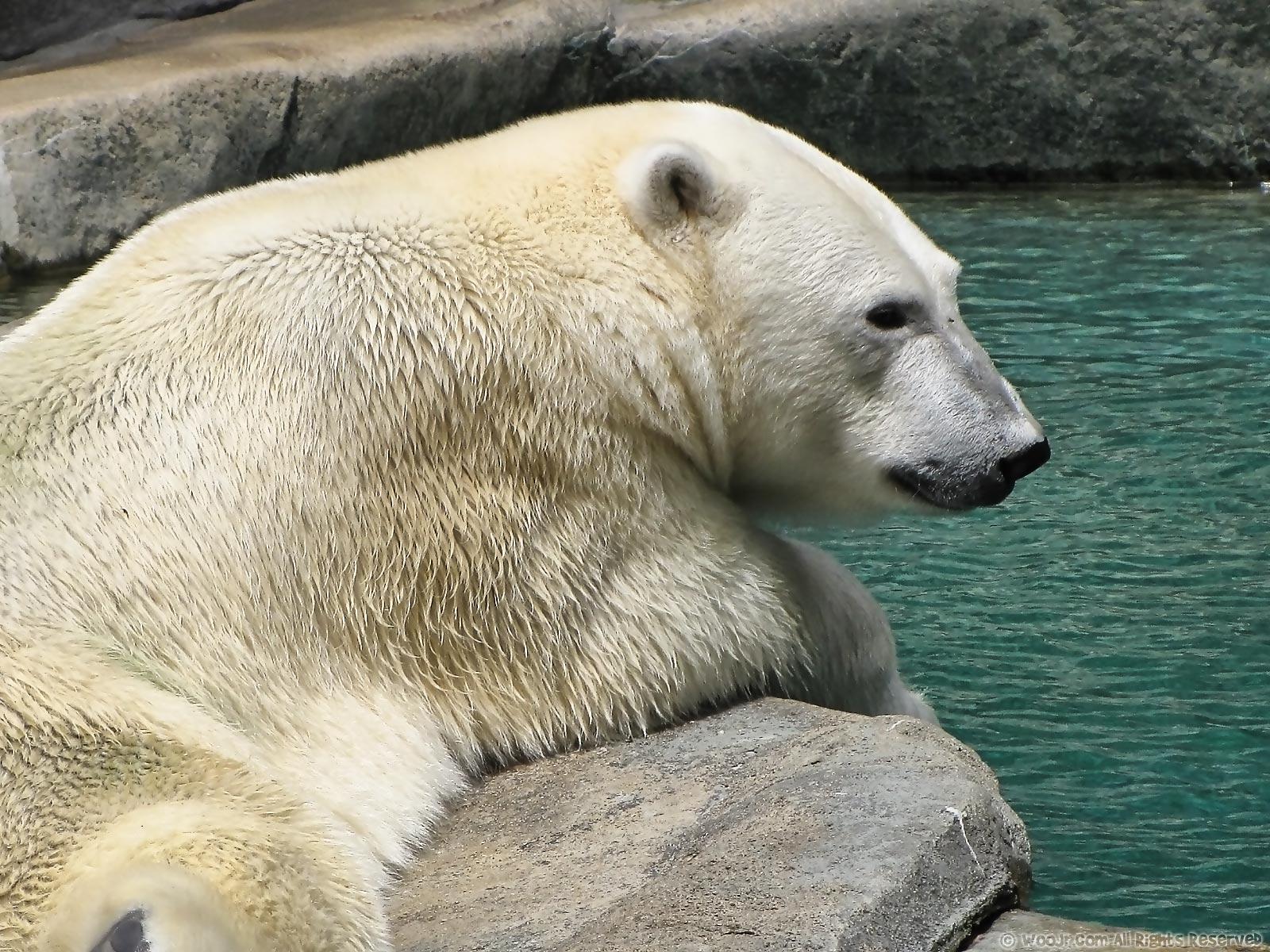 polar bear wallpaper 1600 x 1200 polar bear wallpaper 1280 1600x1200