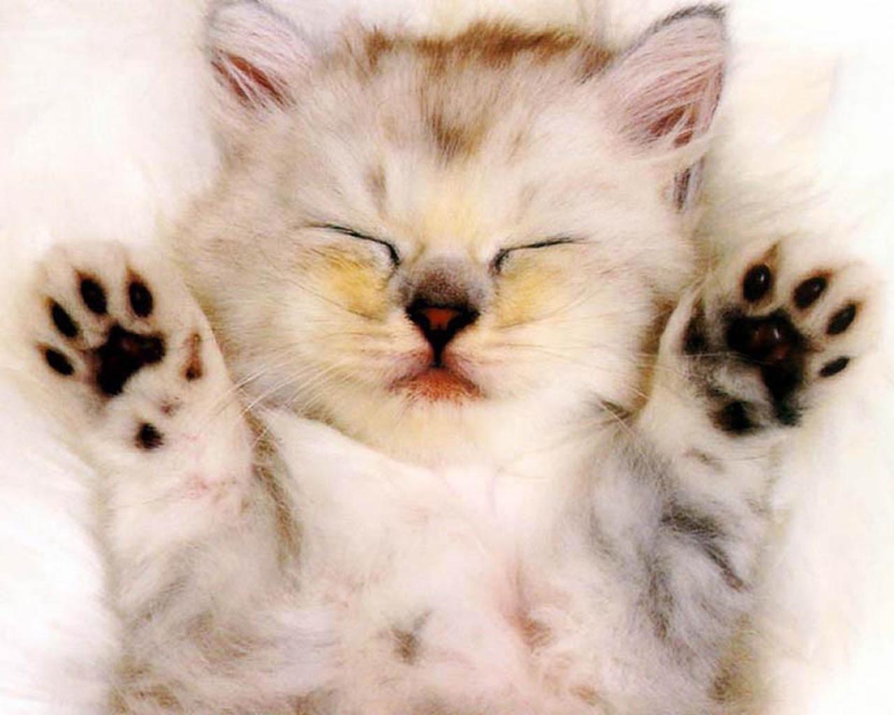 Animal wallpapersVery cute baby kitten Wallpapers Images Stock 1280x1024