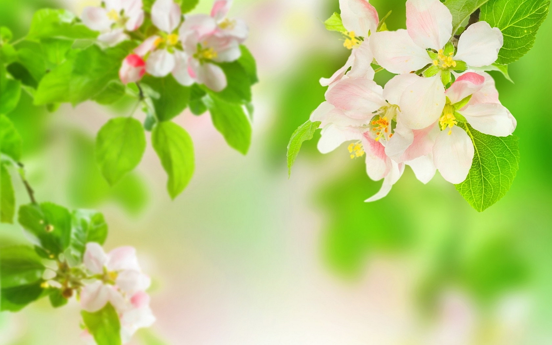 Apple Blossom Wallpaper For Desktop 1920x1200