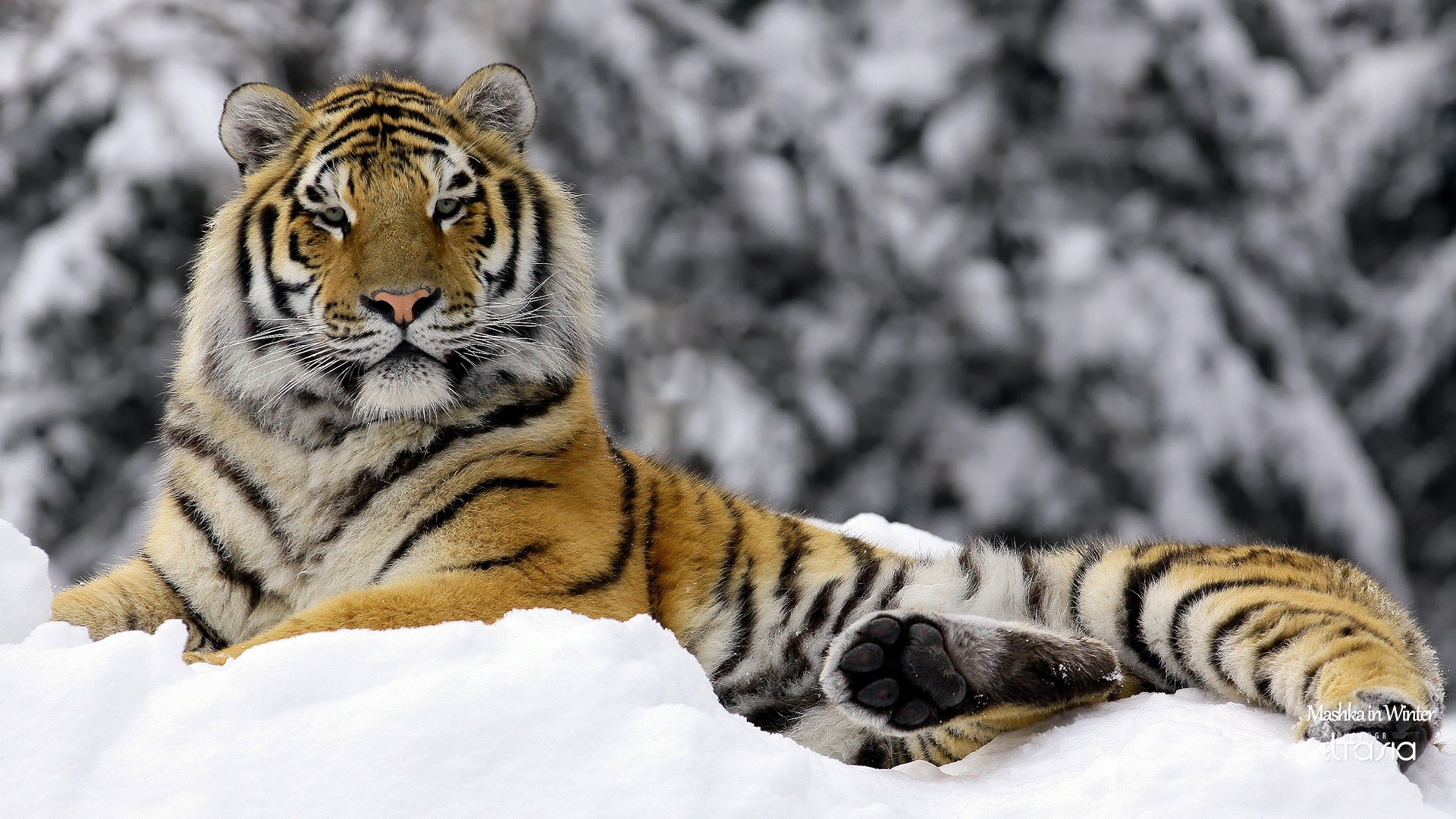tigers panther wallpaper backgrounds ice beautiful bengal tiger 1920x1080