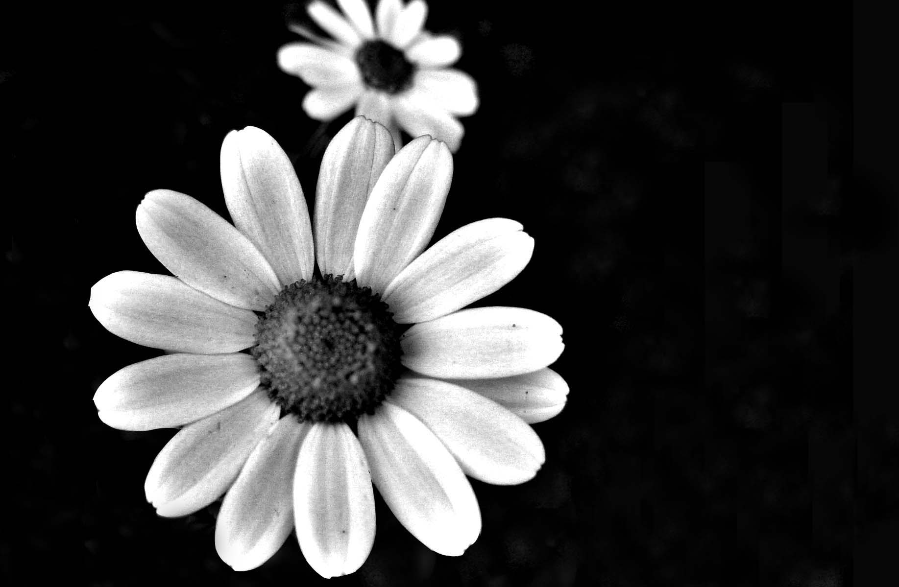 Black and White Flower Wallpaper - WallpaperSafari