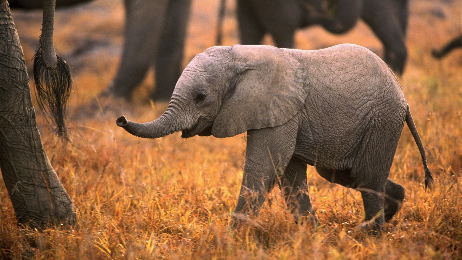 Baby Elephants Playing in Africa HD Wallpaper   New HD 1920x1080