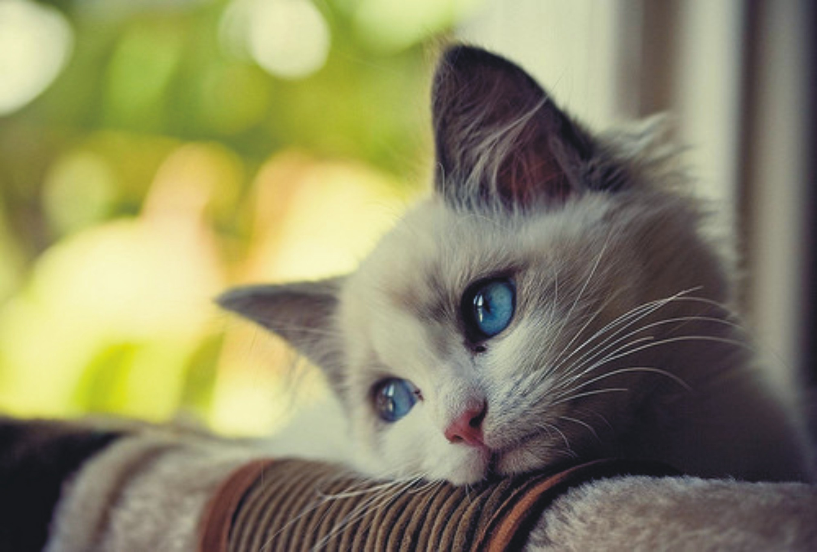 Small Cat With Eyes Blue HD wallpapers   Small Cat With Eyes Blue 2702x1826