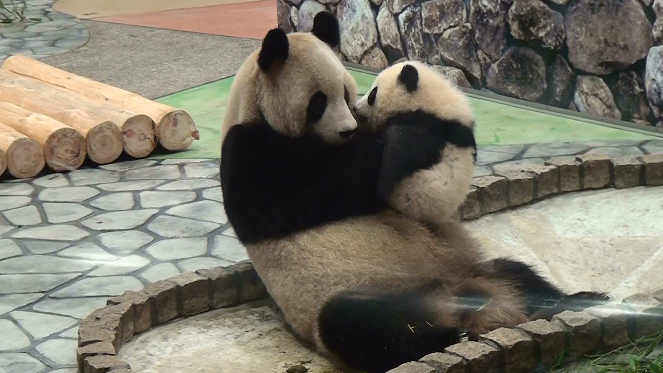 Panda baby kiss her Mom 2304x1296
