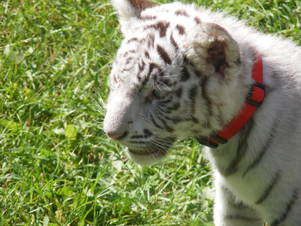 baby white tiger - HD1024×768
