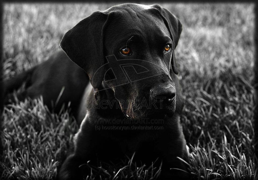 Black Lab Mastiff Labrador Ret 1024x717