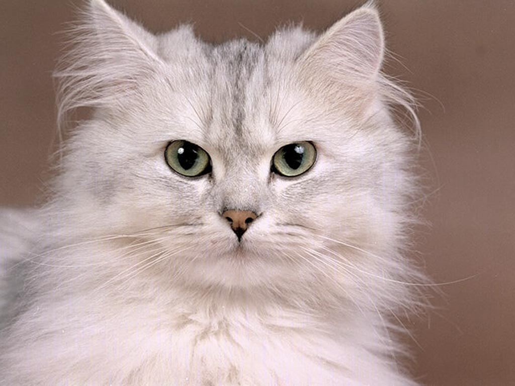 Cat Wallpaper Cute Cat Pictures Animal Desktop Backgrounds 1024x768