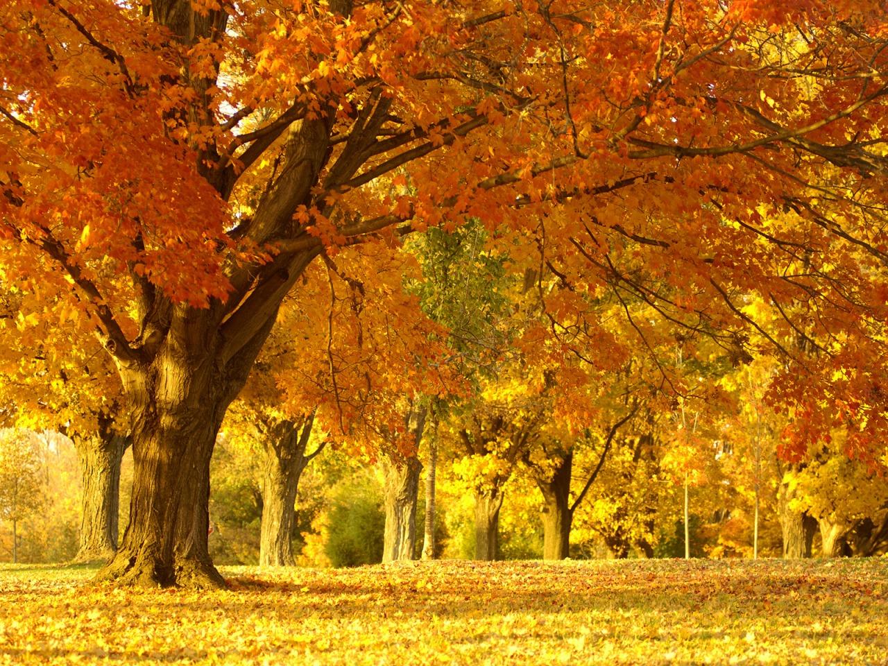 golden autumn tree wallpaper autumn nature wallpaper 1280 960 1018jpg 1280x960