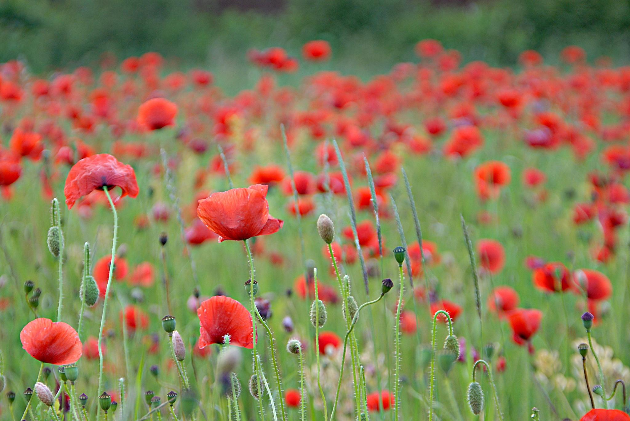 поле маки цветы  № 1877269  скачать