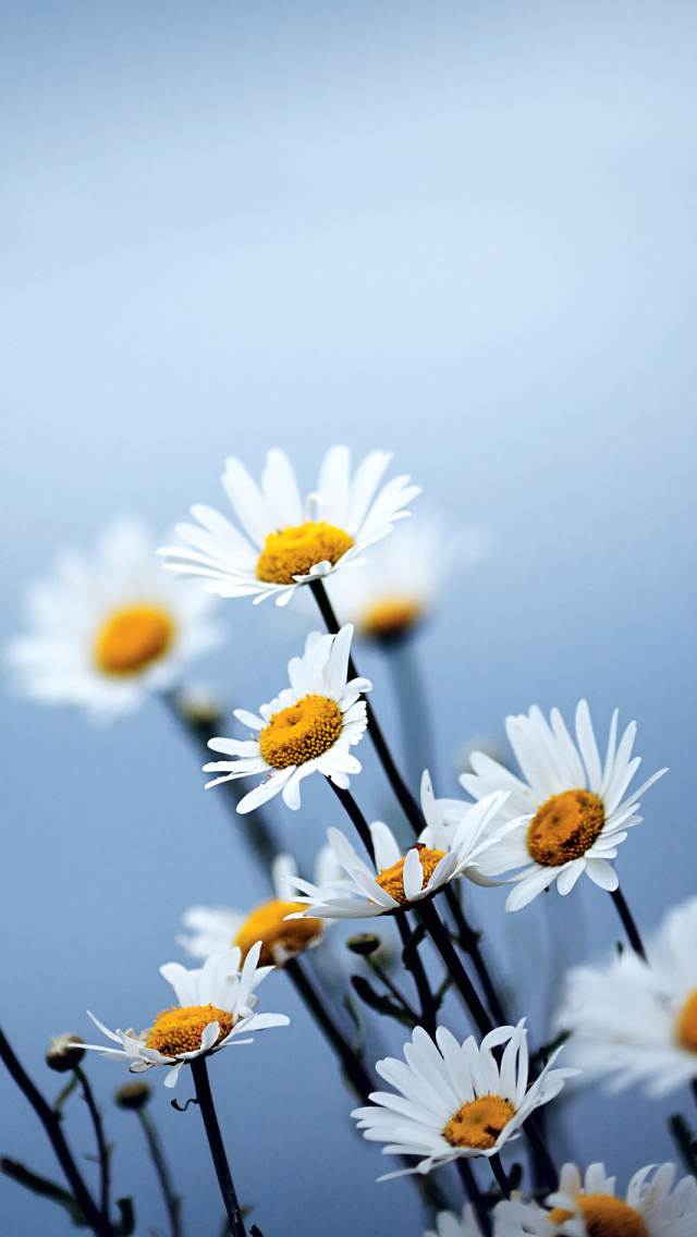 daisies flowers iphone wallpaper tags bokeh daisies flowers plant 640x1136