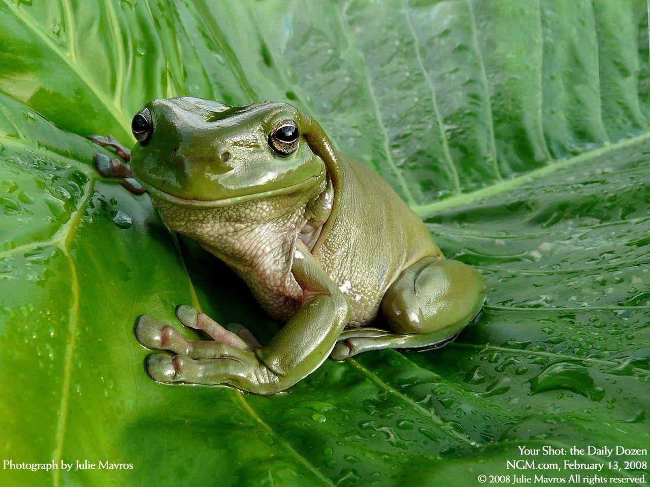 Cute Frog Wallpapers 1280x960