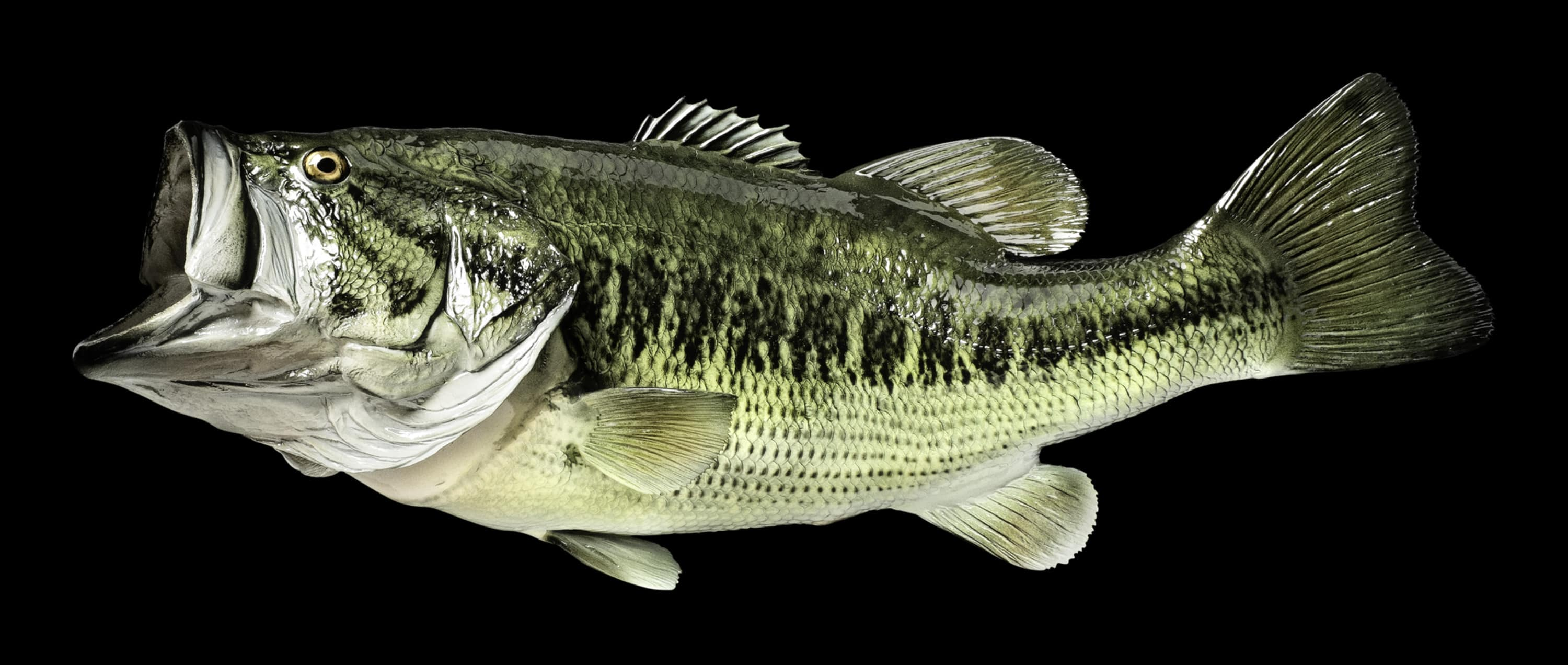 Largemouth Bass Hd Wallpaper For Desktop Images amp Pictures 3000x1272