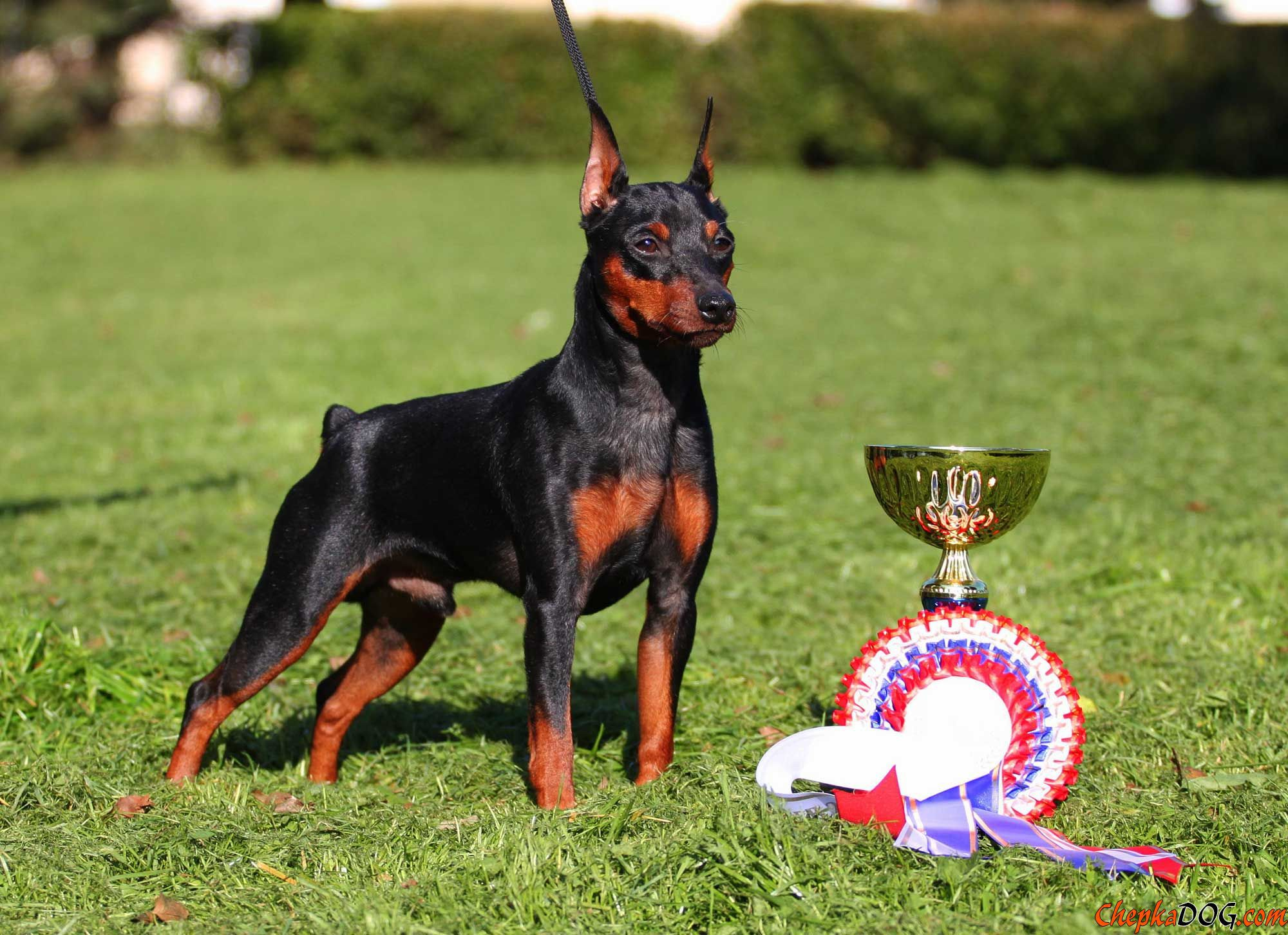 Miniature Pinscher and his prizes wallpapers and images   wallpapers 2000x1453