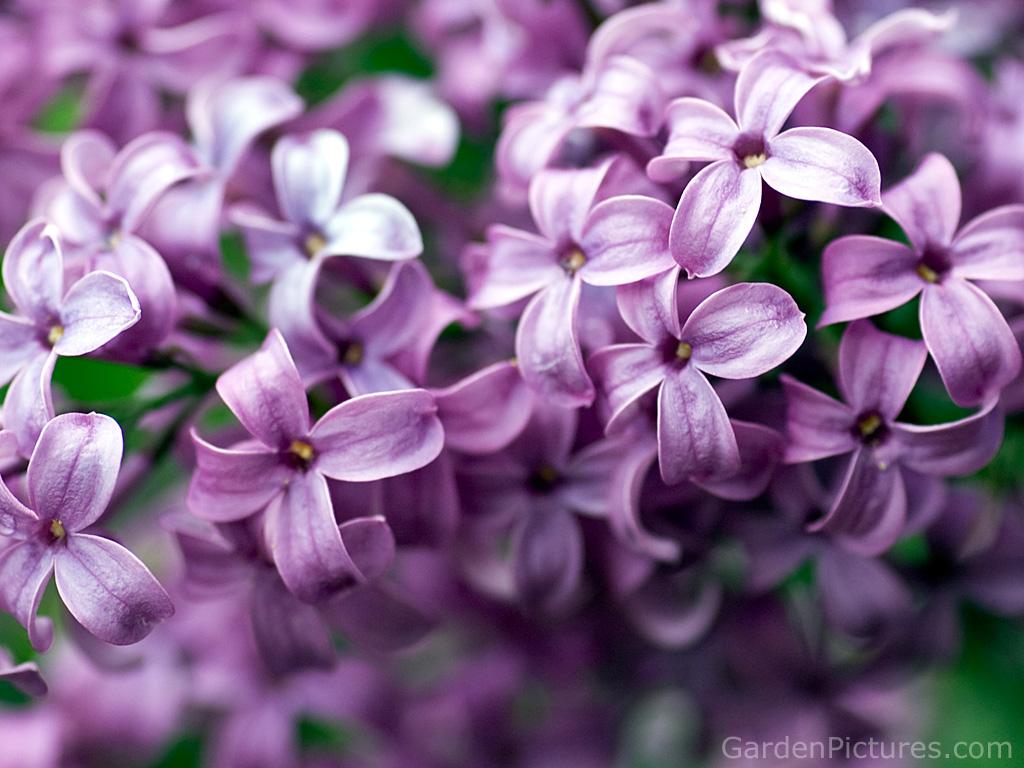 30 lilac flower wallpaper flower wallpapers ImgStockscom 1024x768