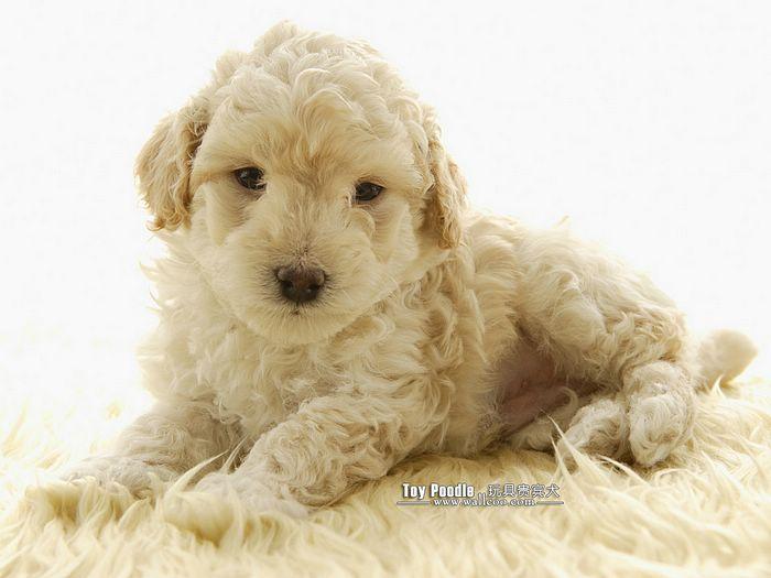 toy poodle puppy curly coat miniature poodle wallpaper miniature 700x525