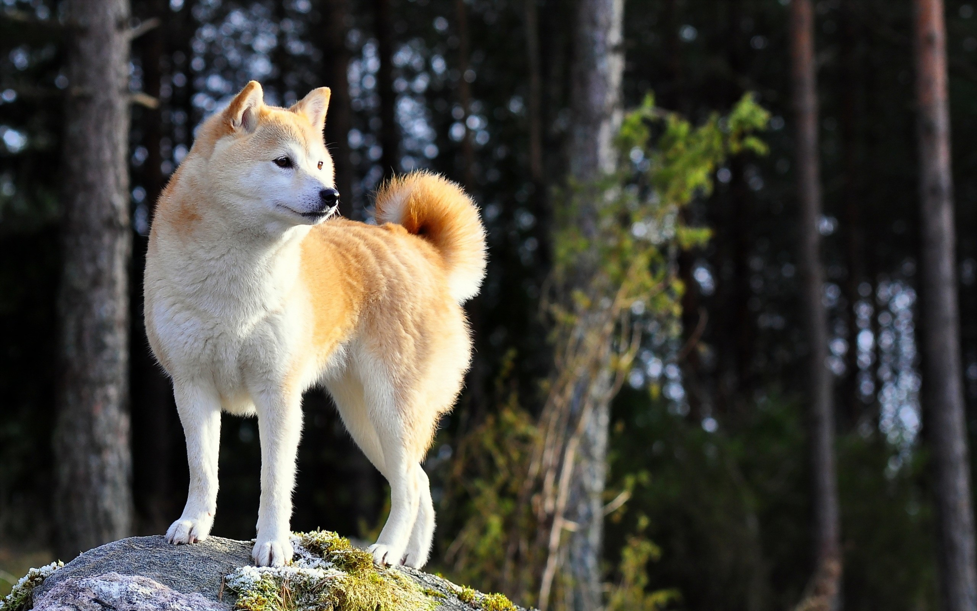 Beautiful Akita dog Desktop background Images Animals And Birds 3840x2400